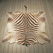 Zebra Rug Mount #10960 - The Taxidermy Store