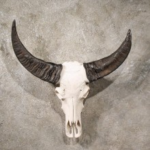 Asian Water Buffalo Skull #10969 - The Taxidermy Store