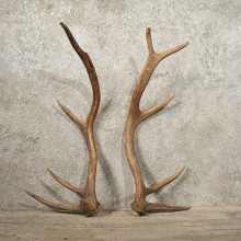 Elk Antler Pair #10991 - The Taxidermy Store