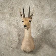 #10996 African Vaal Rhebok Shoulder Taxidermy Head Mount For Sale