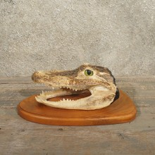 Alligator Head Mount #11005 - The Taxidermy Store