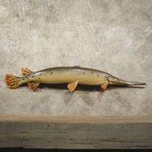 Longnose Gar Taxidermy Fish Mount For Sale