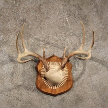 Whitetail deer antler plaque mount for sale