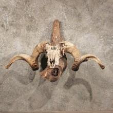 #11035 Corsican Ram Sheep Horns