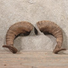 Corsican Ram Horns #11083 - The Taxidermy Store