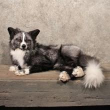 Laying Whitemark Silver Fox