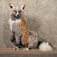 Standing Tricolor Red Fox