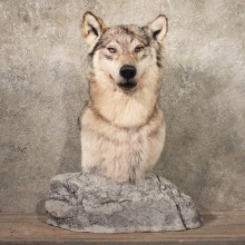 #11110 Grey Wolf Pedestal Taxidermy Mount For Sale @ The Taxidermy Store