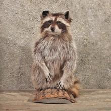 Raccoon Half Life SizeTaxidermy Head Mount on a Log For Sale