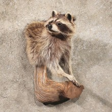 Raccoon Half Life SizeTaxidermy Head Mount on a Branch For Sale