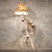 Antler Lamp with Coyote #11134 - The Taxidermy Store