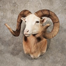 Corsican Ram Shoulder Mount #11139 - The Taxidermy Store