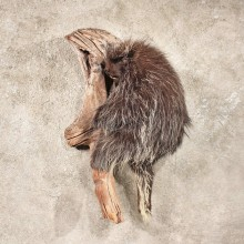 Wall Hanging Porcupine Taxidermy Mount For Sale