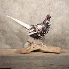 Piebald Pheasant