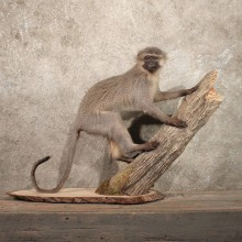 African Vervet Taxidermy Life-Size Mount #11255 For Sale @ The Taxidermy Store