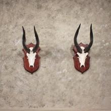 African Bushbuck Horn Pair