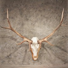 Elk Antler Plaque #11345 - The Taxidermy Store