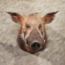 For Sale - African Bushpig Shoulder Mount #11364 - The Taxidermy Store