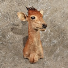 African Bay Duiker Shoulder #11395 - For Sale - The Taxidermy Store