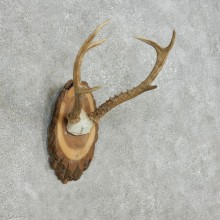 Roe Deer Antler Plaque Taxidermy Mount For Sale #14001 @ The Taxidermy Store