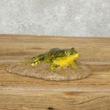 Bull Frog Replica Reproduction Mount For Sale #14164 @ The Taxidermy Store