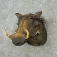 African Warthog Shoulder Mount For Sale #15130 @ The Taxidermy Store
