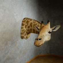 African Giraffe Taxidermy Shoulder Mount For Sale