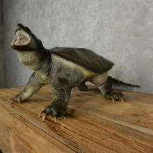 Snapping Turtle Taxidermy Mount For Sale - #17050
