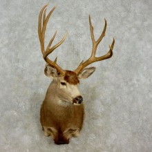 Mule Deer Shoulder Mount For Sale #17288 @ The Taxidermy Store