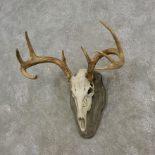 Whitetail Deer Skull European Mount For Sale #17292 @ The Taxidermy Store