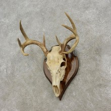 Whitetail Deer Skull European Mount For Sale #17293 @ The Taxidermy Store