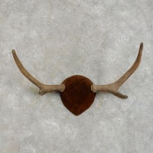Moose Antler Plaque For Sale #17294 @ The Taxidermy Store