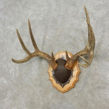 Whitetail Deer Antler Plaque Mount For Sale #17311 @ The Taxidermy Store