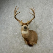 Mule Deer Shoulder Mount For Sale #17322 @ The Taxidermy Store
