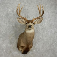 Mule Deer Shoulder Mount For Sale #17351 @ The Taxidermy Store