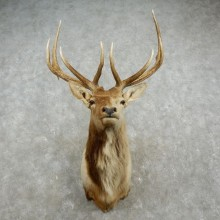 Rocky Mountain Elk Shoulder Mount For Sale #17368 @ The Taxidermy Store