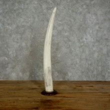 Walrus Tusk Replica Mount For Sale #17386 @ The Taxidermy Store