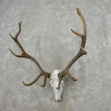Elk Skull Antler European Mount For Sale #17394 @ The Taxidermy Store