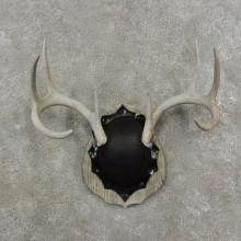 Whitetail Deer Antler Plaque Mount For Sale #17401 @ The Taxidermy Store