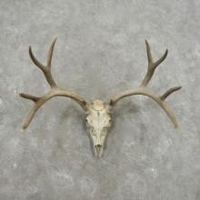 Mule Deer Skull Antler European Mount For Sale #17405 @ The Taxidermy Store