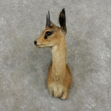 Grysbok Antelope Taxidermy Shoulder Mount For Sale #17409 - The Taxidermy Store