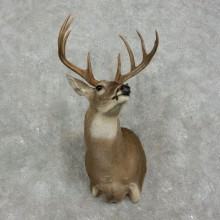 Whitetail Deer Shoulder Mount #17520 For Sale - The Taxidermy Store