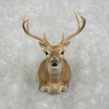 Whitetail Deer Shoulder Mount #17522 For Sale - The Taxidermy Store