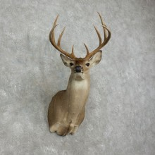 Whitetail Deer Shoulder Mount #17523 For Sale - The Taxidermy Store