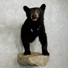 Black Bear Half-Life-Size Taxidermy Mount #17534 For Sale @ The Taxidermy Store