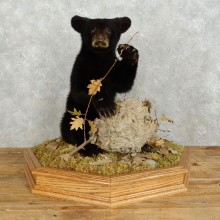 Sitting Black Bear Cub Mount #17536 For Sale @ The Taxidermy Store
