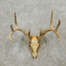 Whitetail Deer Skull European Mount For Sale #17557 @ The Taxidermy Store