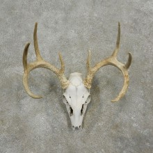 Whitetail Deer Skull European Mount For Sale #17563 @ The Taxidermy Store