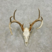 Whitetail Deer Skull European Mount For Sale #17565 @ The Taxidermy Store