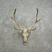 Rocky Mountain Elk Skull European Mount For Sale #17587 @ The Taxidermy Store